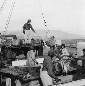 Getting fish from boat to harbour in Hauganes in the 1970's