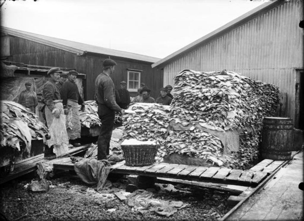 Fish production in Hauganes in the 1960's